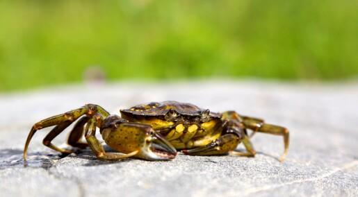 Monsterparasitt tar over krabbens kropp og vilje