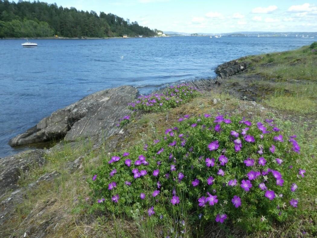 Åpen, grunnlendt kalkmark rundt Oslo huser et biologisk mangfold som fortjener å feires. Foto: Siri Lie Olsen.