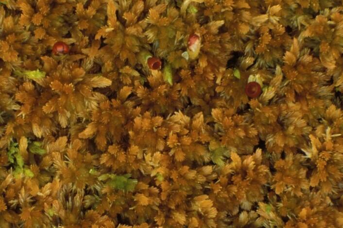 Du kan med fordel lære deg å kjenne igjen Rusttorvmose Sphagnum fuscum – moltemyras torvmose nummer én, og en god indikator på hvor man kan finne molte. (Foto: Kjell Ivar Flatberg, NTNU)