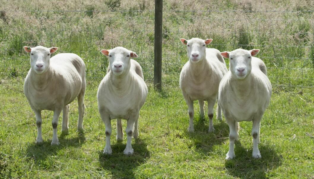 Disse fire sauene er kloner, og de er laget med samme arvematerialet som Dolly ble klonet fra. Dolly ble født i 1996, mens disse fire ble født i 2007. (Foto: The University of Nottingham)
