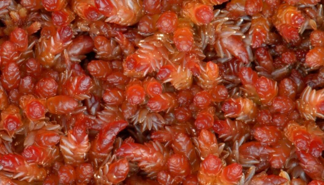 Her har vi kjøtt-torvmosen, med det latinske navnet Sphagnum (Sphagnum) magellanicum. (Foto: Kjell Ivar Flatberg)