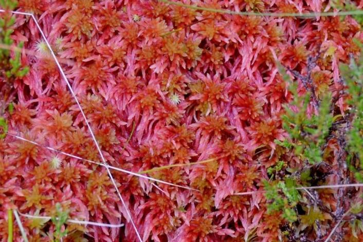 Fukttorvmose Sphagnum skyense er en av de syv beskrevne artene som enda ikke er funnet i Norge. Med en forkjærlighet for fuktig kysthei kan den tenkes å vokse på Sørvestlandet. (Foto: NTNU Vitenskapsmuseet, Tommy Prestø)