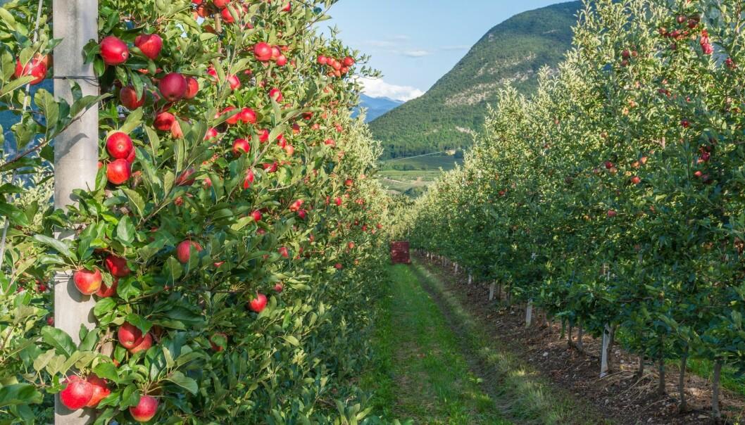 Eplebonde Knut Braastad deler gjerne av sin kunnskap om epleproduksjon. Han er en av dem som nå er veileder for yngre bønder som vil komme i gang og som har bruk for litt råd på veien. (Illustrasjonsbilde: lorenza62 / Shutterstock / NTB scanpix).
