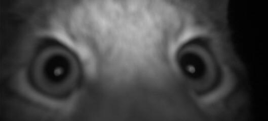 Gaupe og ulv reagerer på viltkamera