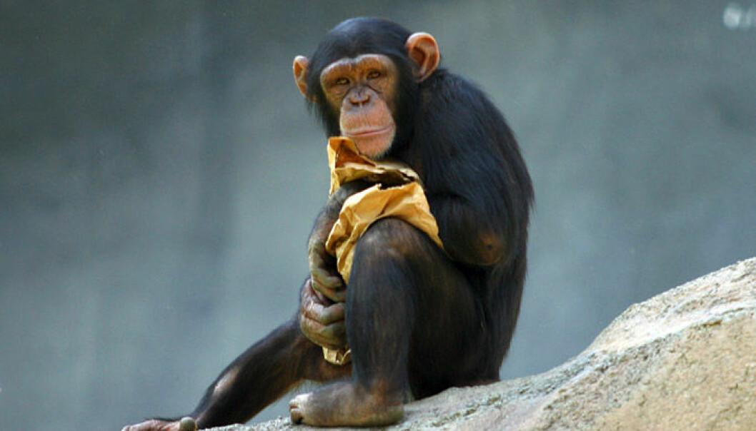 Denne sjimpansen og vi mennesker har den samme forfaderen. Men tarmene våre er bebodd av noen bakterier som også deler det samme opphavet. Disse ur-tarmbakteriene levde i vår felles stamfar. (Foto: Aaron Logan/CC BY 2.5)