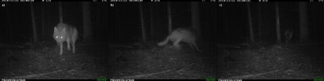 Denne ulven i Hobøl blir skremt av en blits med infrarødt lys. (Foto: viltkamera.nina.no)