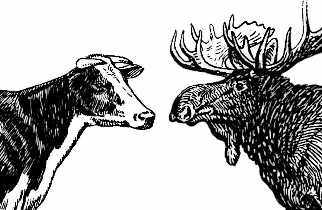 Bilde: Siden 1950 har antall kyr på utmarksbeite i Norge gått kraftig tilbake, mens antall elg har økt. (Illustrasjoner: offentlig eie, modifisert av forfatteren).