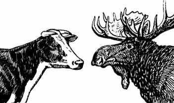 Ut med kua inn med elgen