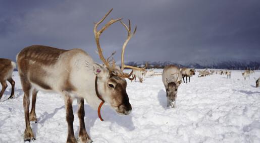 Forskere har funnet genene som gjør reinsdyr tammere enn andre hjortedyr