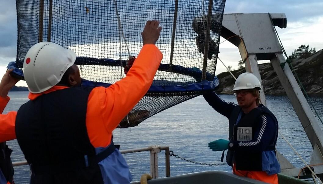 Då forskarane sette torsk i bur på sjøbotnen ved ei tidlegare søppelfylling, vart fisken tydeleg påverka av miljøgifter. Berre seks veker var nok til å skape endringar i hormonnivå og genar knytte til reproduksjon. Her vert bura henta opp frå sjøen. (Foto: Karina Dale)