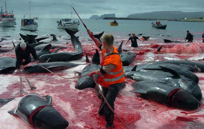Grindedrapet – slaktingen av grindhval – er matauk med tradisjoner på Færøyene. Internasjonalt er grindedrap omstridt. Kjøttet selges ikke; det deles likt blant alle i bygda. (Foto: Andrija Ilic, Reuters/Scanpix)