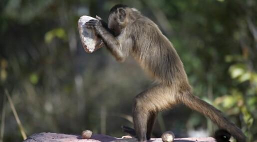 Her har apene brukt steinverktøy i minst 3000 år