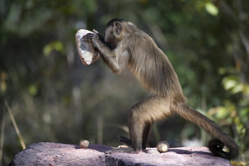 Her ser du en brasiliansk kapusinerape knekke nøtter med en stein. (Foto: Ben Cranke, Nature Picture Library, NTB scanpix)