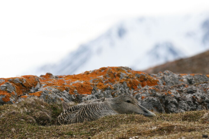 Det hekker mellom 13 500 og 27 500  ærfuglpar på Svalbard. Våre studier har vist at de drar sørover til Island eller Nord-Norge etter hekkesesongen. Det betyr at både Norge og Island har felles ansvar for å ta vare på ærfuglbestanden som hekker på Svalbard. (Foto: Børge Moe)