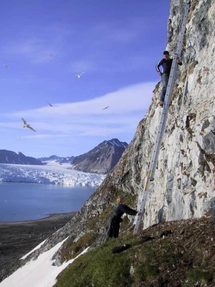 Krykkje hekker i fuglefjell.  Her bruker vi stiger for å studere krykkjene som hekker i Kongsfjorden. Etter hekkesesongen drar krykkjene vekk fra fuglefjellet. De oppsøker gjerne næringsrike områder nord i Barentshavet på høsten  før de drar sørover og tilbringer vinteren lengre sør i Nord-Atlanteren. Krykkjene som hekker i Kongsfjorden tilbringer mye tid i Labradorhavet og havet øst for Newfoundland om vinteren. (Foto: Claus Bech)