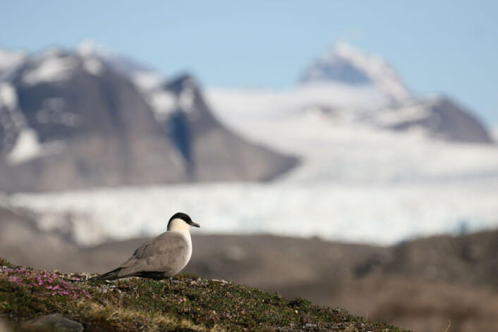 Fjelljoen er en av sjøfuglene med lengst trekkrute. Etter hekkesesongen forlater den Svalbard med kursen for den sørlige halvkula og havområdene utenfor sørvestlige Afrika. (Foto: Børge Moe)