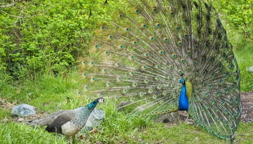 Påfuglhannen risikerer mye ved å ha en fjærpryd som gjør han synlig for rovdyr. Hvorfor vinner han likevel på det? (Foto: pr2is / Shutterstock / NTB scanpix)