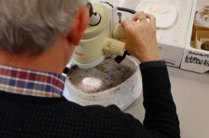 Det er vanskelig å se hvordan forhistorisk hud har blitt bearbeidet. Når råhud ligger lenge i bakken, blir det naturlig garvet, som kan være vanskelig å skille fra lær mennesker har laget. (Foto: Rolf Fabricius Warming/Society for Combat Archaeology)