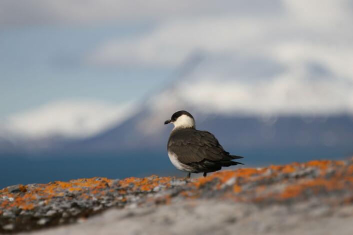Når tyvjoen har landa på Svalbard har den tilbakelagt en imponerende reise på flere tusen kilometer i løpet av vinteren. (Foto: Børge Moe)
