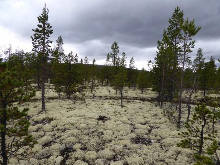 Det ser litt ut som snø, men er faktisk lav. Denne skogen i Folldal er blant de tørreste som finnes i Norge. Foto: HAU