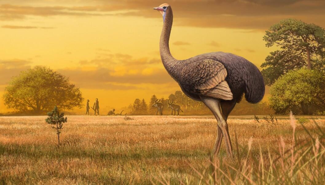 Kanskje så den gigantiske fortidsfuglen Pachystruthio dmanisensis sånn ut. (Illustrasjon: Andrey Atuchin)