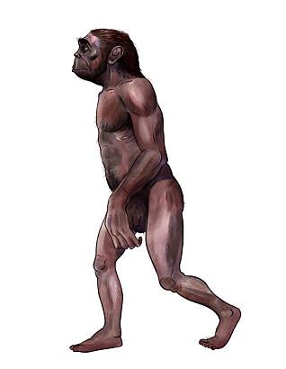 Australopheticus. En av våre forfedre som gikk på to ben. (Illustrasjon: Nicolas Primola/NTB scanpix)