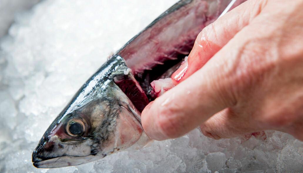 Avskjær fra makrell inneholder proteiner av god kvalitet. (Foto: Nofima)