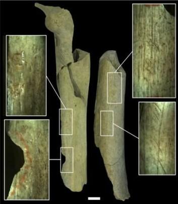 Knoklene har samme type merker som på bein etter dyr som ble brukt til mat. Tegnene tyder også på at de er blitt brukt i arbeidet med å lage steinredskaper. (Foto: Asier Gómez-Olivencia et al.)