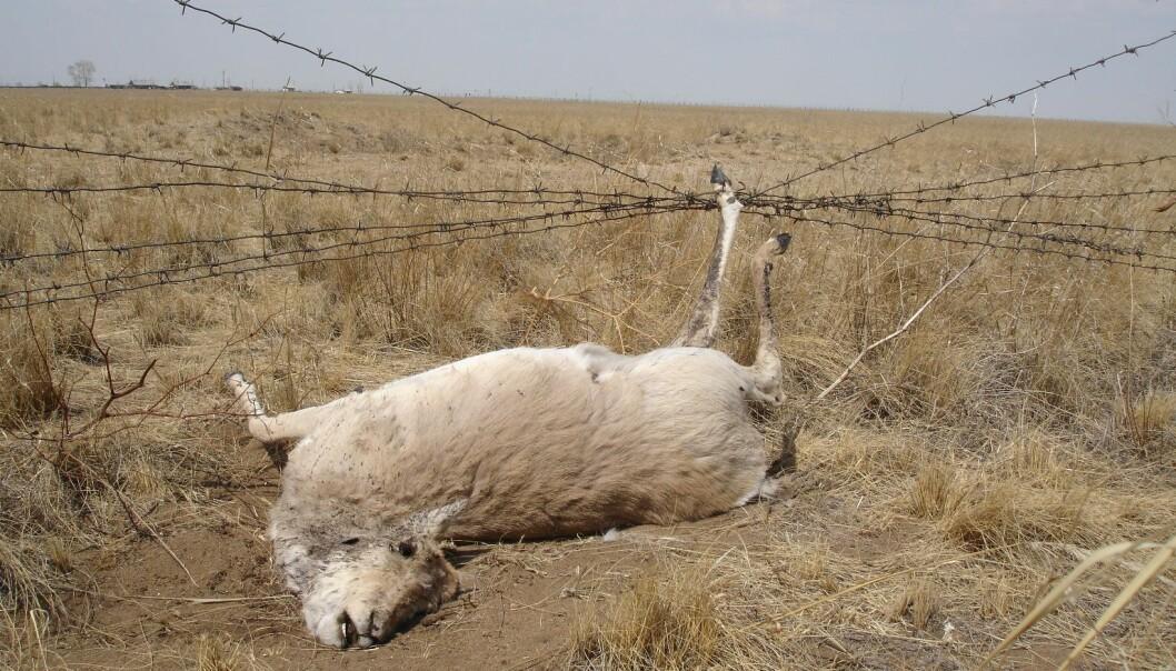 Mongolsk gaselle fanget i et gjerde på grensen mellom Mongolia og Russland. ( Foto: G. Sukhchuluun)