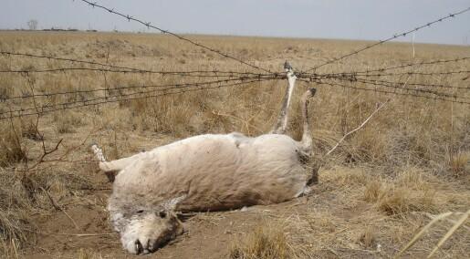 Dyr hekter seg fast i grensegjerder