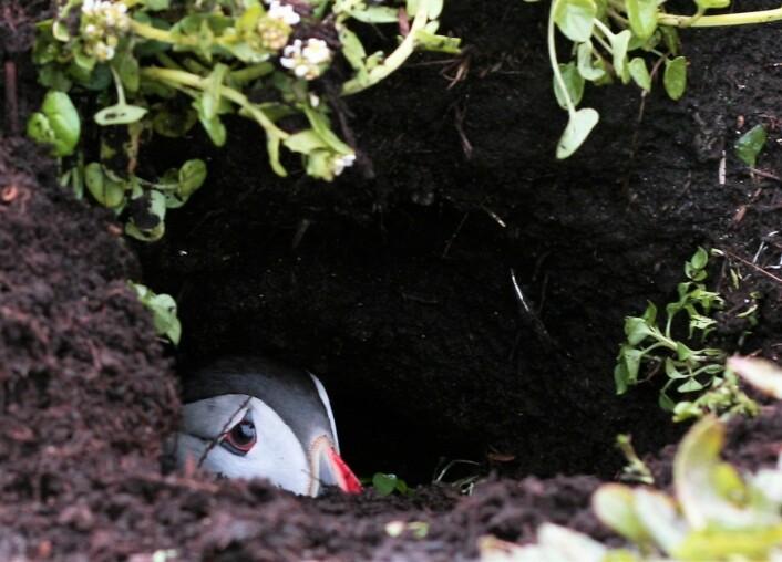 En lunde har flyttet inn, og sitter i huleåpningen sin. Ikke la deg narre av det søte fjeset, denne fuglen er full av futt og fres og klar til å forsvare reiret sitt. (Foto: Magdalene Langset)