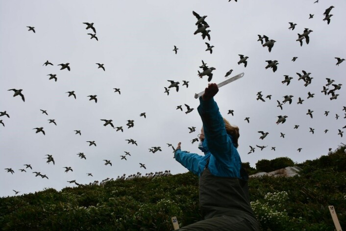 1 Når lundene svermer er det noen ganger som om hele himmelen være fylt med fugl. Lunden har små og korte vinger, men de flakser intenst og kan holde ei fart på 60 km/time, selv om langt høyere hastigheter er målt. (Foto: Magdalene Langset)