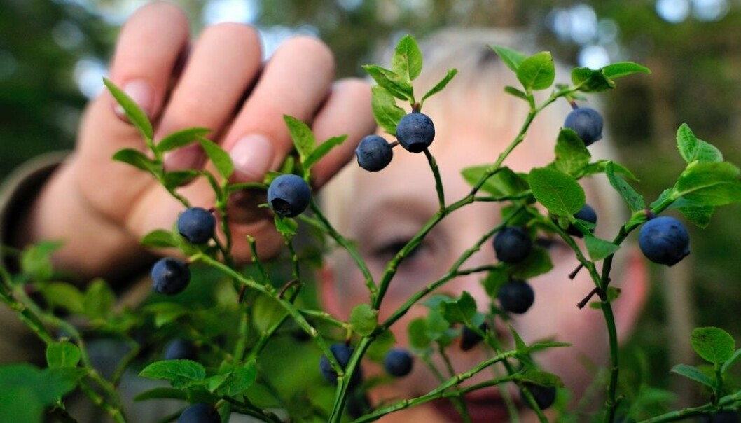 Mot nye blåbærrekorder