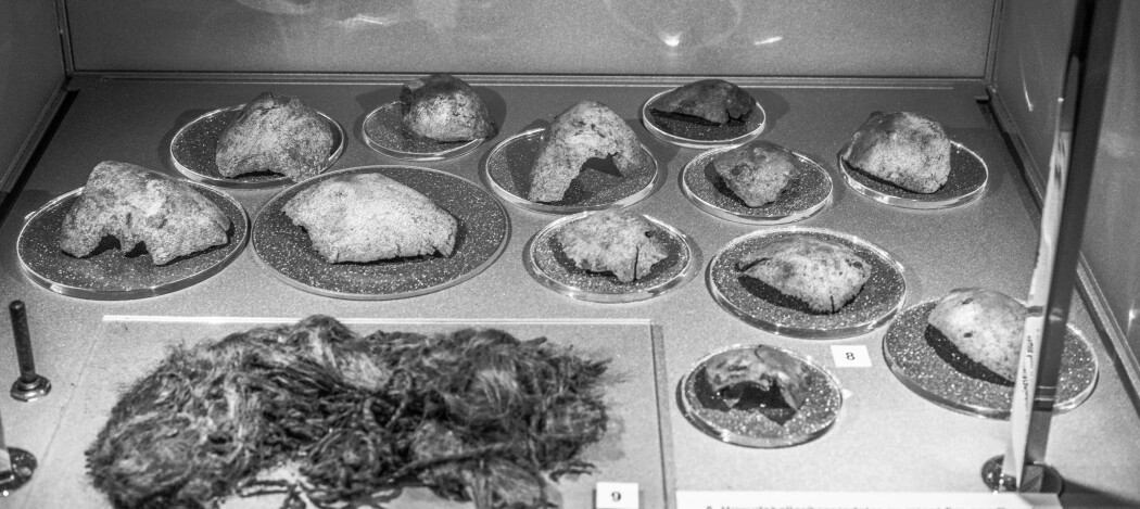 Minst fire spedbarnsskaller funnet i et våtmarksområde ved Hå, Rogaland, fra de første århundrene e.v.t, utstilt ved Arkeologisk Museum, Stavanger. Om minimum fire spedbarn døde i én hendelse, eller om skallene ble samlet over en periode, er ukjent. (Foto: Marianne Hem Eriksen)