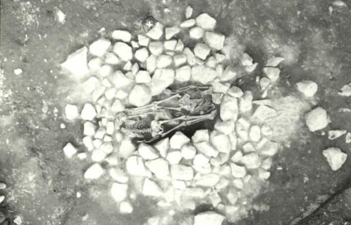 Denne dobbeltgraven fra vikingtiden i Grimsta i sørøst-Sverige ble åpnet i 1974. Den inneholder levningene til to personer som har bli halshugget. Det ene hodet ligger i fotenden til venstre i bildet. Flere forskere tror det er to treller som er begravet her. (Foto: Ove Hemmendorf, 1974/Riksantikvarieämbetet)