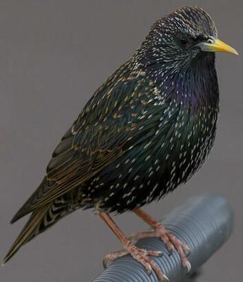 Trolig var den fuglelignende skapningen på størrelse med stæren slik vi kjenner den i dag. (Foto: Pierre Selim/Wikimedia commons)