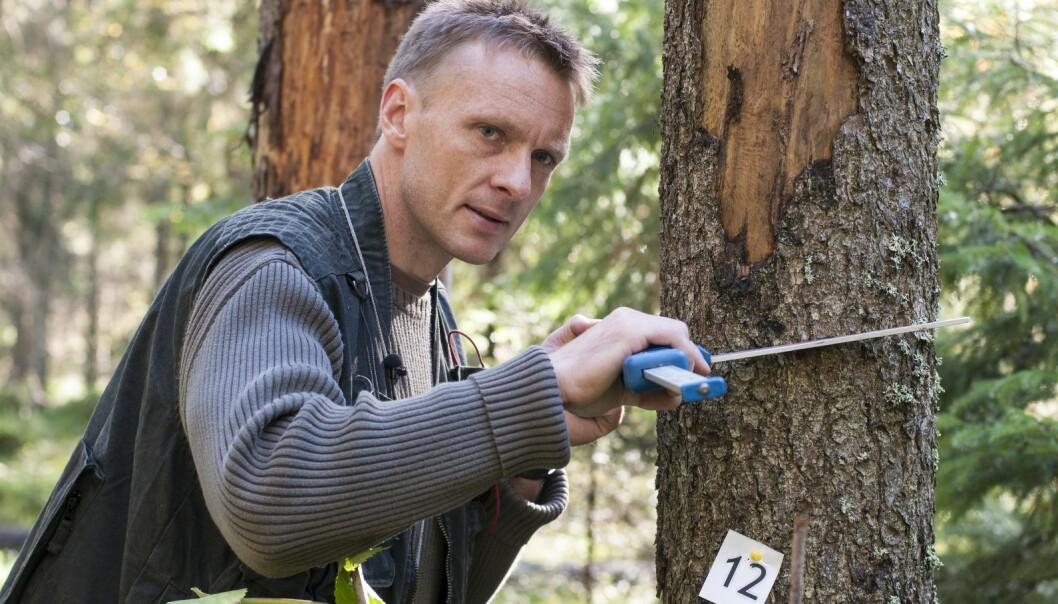 Knut Ole Viken klaver et tre, det vil si å måle diameteren på stammen i brysthøyde. Et tre er definert som større enn fem centimeter i brysthøyde, og alle trær over fem centimeter i diameter blir registrert og målt.  (Foto: Lars Sandved Dalen, NIBIO)
