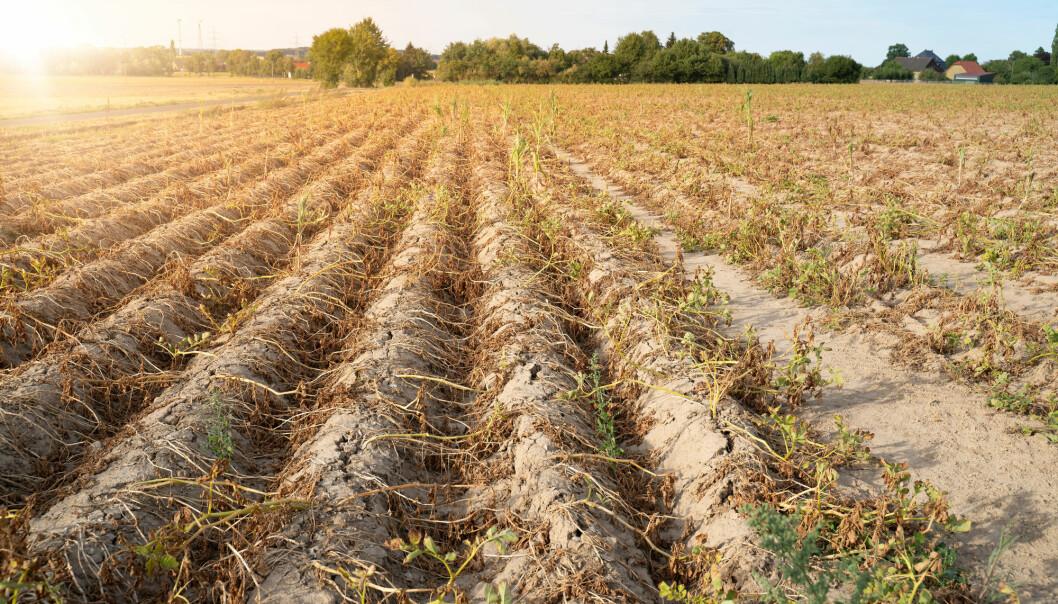 I fjor ble jordbruket i Nord-Europa utsatt for en sesong med ekstrem tørke. I en ny studie skriver forskere at dette kan bli vanligere i fremtiden. (Tanja Esser, Shutterstock, NTB scanpix)