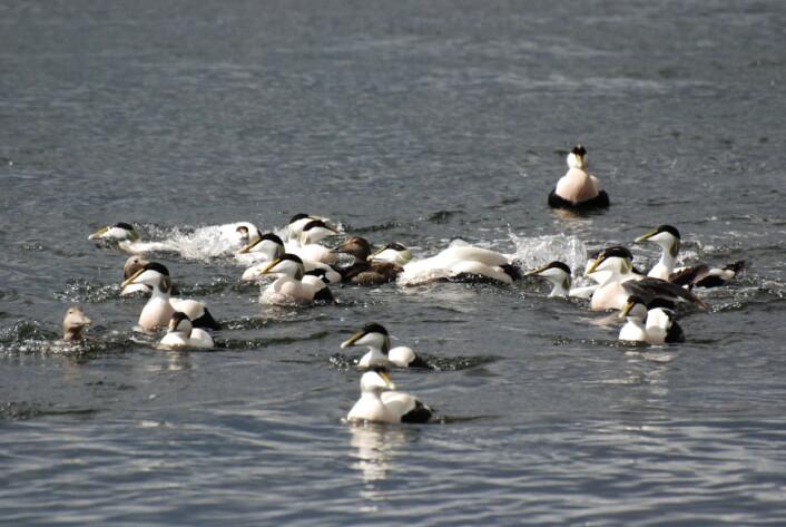 På sjøen utenfor hekkeplassene kan det være et yrende liv når hannene skal kjempe om å få være den som kan parre seg med hoa. (Foto: Arne Follestad)