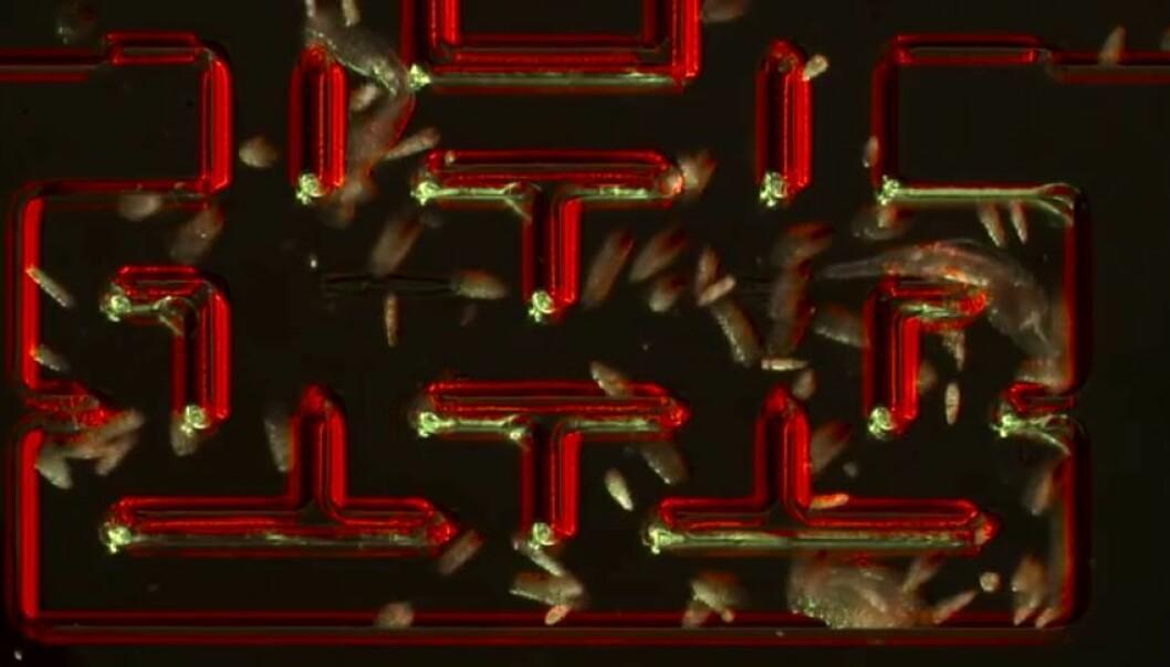 De encellede artene øyealge og flimmerdyr spiller rollene som «Pacmen» mens flercellede hjuldyr fungerer som «Ghosts», som jakter på disse. (Illustrasjon: HSN)