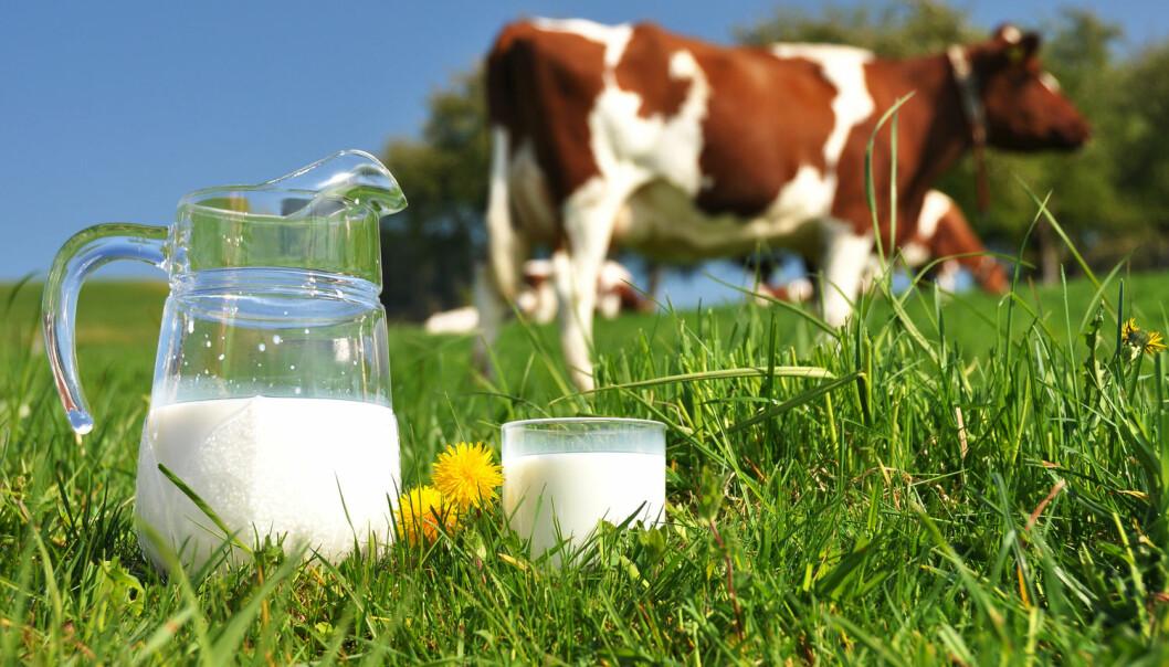 Når det står ungt grønt gras på kuas meny, gjør det at fettprosenten i melken har en tendens til å gå litt ned. (Foto: Shutterstock, NTB scanpix)