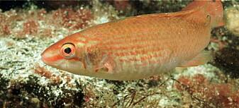 Mer leppefisk ved kysten kan føre til at uønskede trådalger brer seg