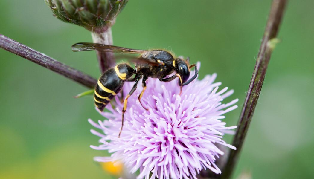 Stikkvepser er rovdyr, men vaksne vepsar er også glad i blomsternektar. Fordi mange av vepsane har stor kropp som er dekt av mikrohår fungerer dei godt som pollinatorar av planter. Her har ein veggmurarveps. (Foto: Arnstein Staverløkk/ Norsk institutt for naturforskning, CC BY-SA 4.0).
