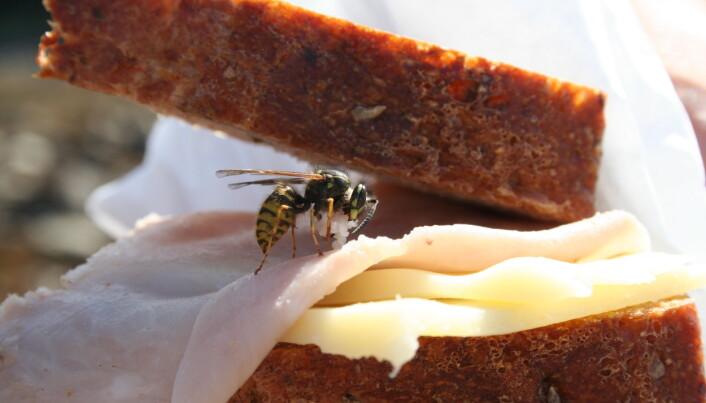 Vepsen tek gjerne med seg kjøttmat for å gje det til larvene som treng proteinar. (Foto: Åslaug Viken, CC BY 4.0).