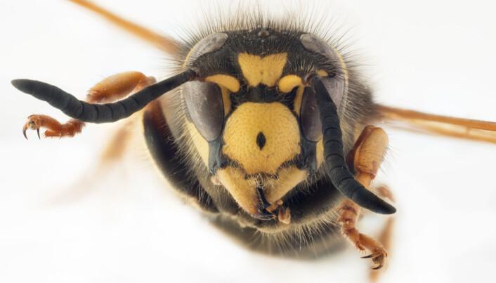 Biletet viser ein skoggaukveps, som er ein sosialparasitt på skogveps. Arten liknar på verten sin, men har to kraftige tenner langs framkanten på munnskjoldet, eit trekk som er typisk for gaukvepsar. (Foto: Arnstein Staverløkk, Norsk institutt for naturforskning, CC BY-SA 4.0)