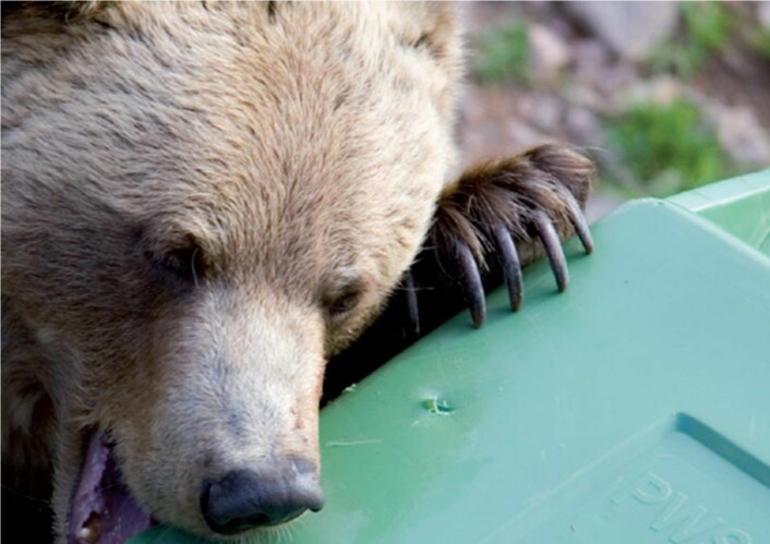 Bjørner som mister sin skyhet er ikke redd for å finne mat i søppeldunker. Foto:NIBIO Svanhovd