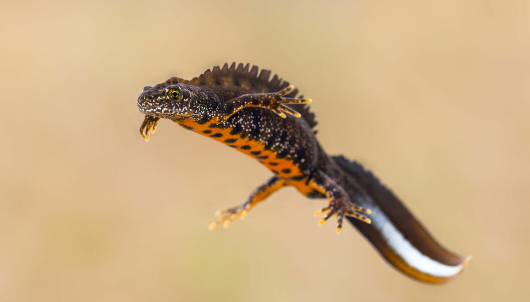 Storsalamander er ikke lenger truet, ifølge Snorre Henriksen i Artsdatabanken. (Foto: Shutterstock / NTB scanpix)