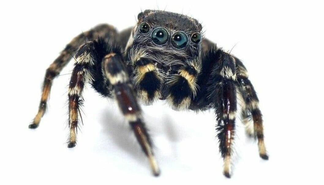 Jotus karllagerfeldi, også kjent som Karl Lagerfelds hoppeedderkopp, er én av fem nylig klassifiserte edderkopper. (Foto: Queensland Museum)