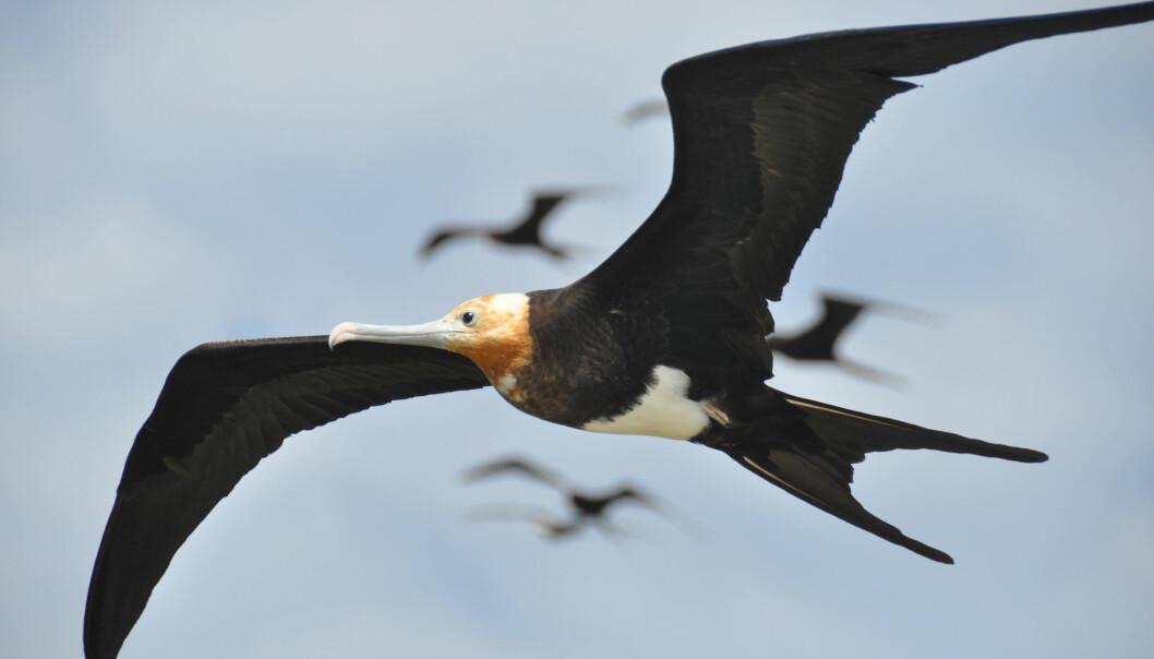 Fregattfuglen krysser verdenshav og kan holde seg i lufta i måneder av gangen. Den sparer energi ved å seile på luftstrømmene. (Foto: Henri Weimerskirch/CEBC/CNRS)