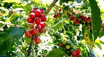 Klimaendringer truer kaffeproduksjonen: Slik kan bøndene tilpasse seg